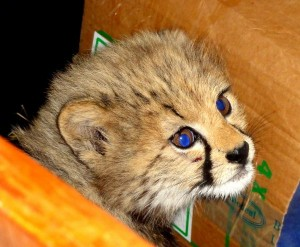 Newly rescued cheetah cub