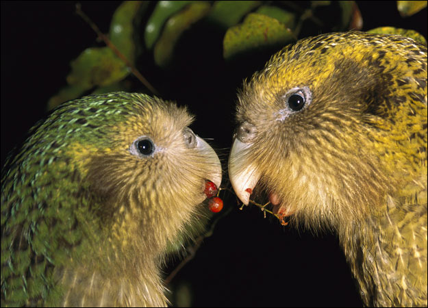 Go, Go Kakapo! | Beloved of Beasts