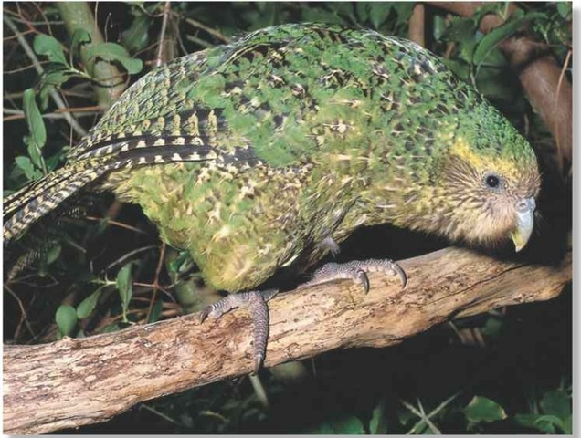 kakapo_on_branch