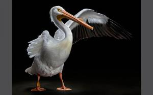 Sanctuary-Birds-white-pelican