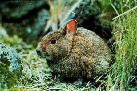 volcano-rabbit