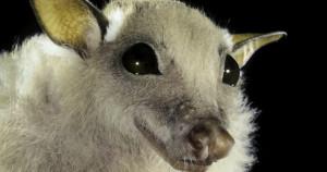 Minor Epauletted Bat from Kenya