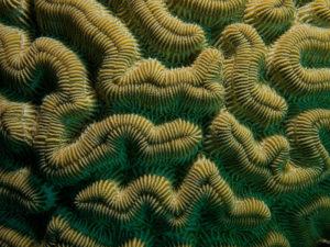 Boulder Brain Coral Closeup